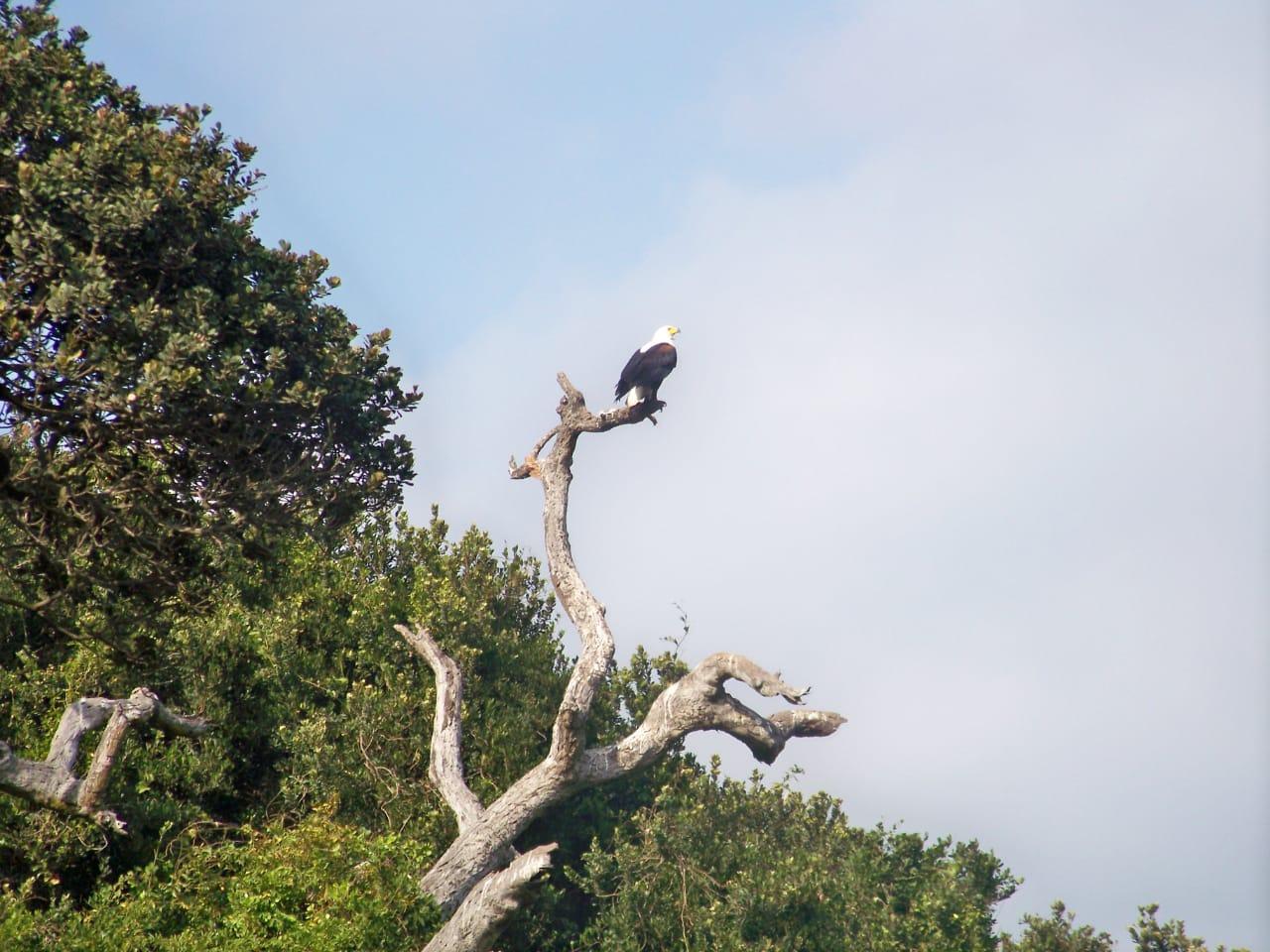 African eagle Umhlanga Rocks